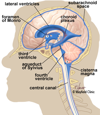 illustration, side view of brain showing the ventricles deep within the brain and the flow of CSF