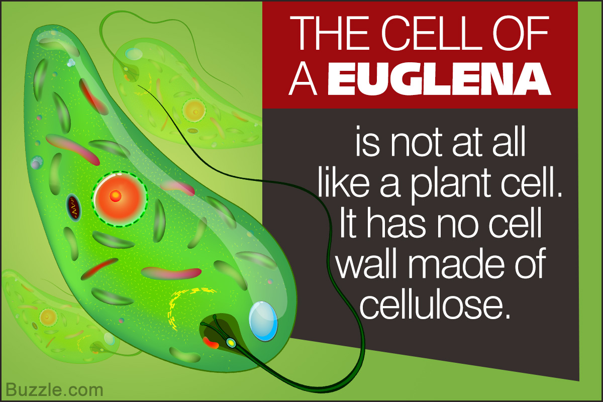 Euglena Classification